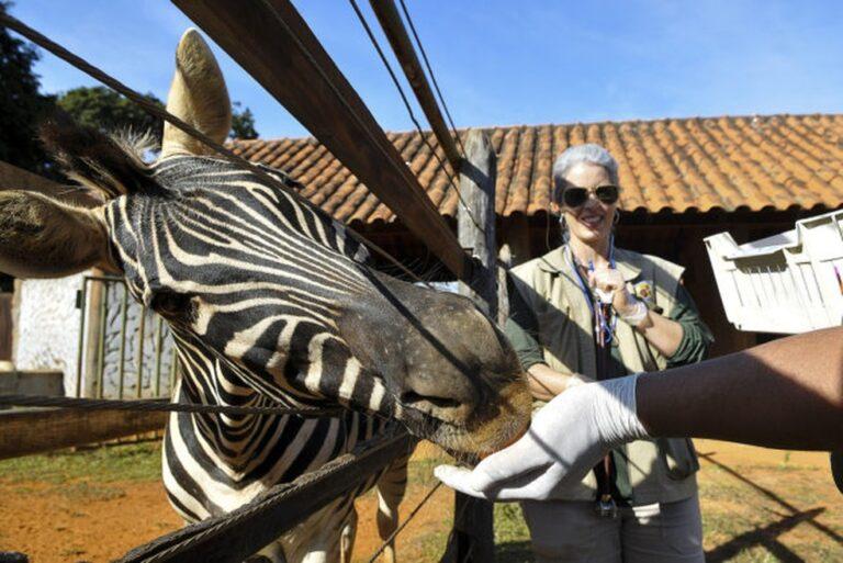 Morre zebra Tucha, do Zoológico de Brasília, após parada cardiorrespiratória